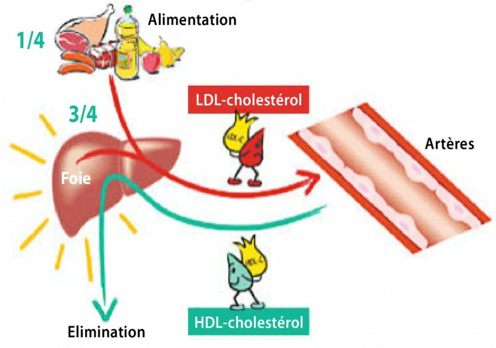 fonctionnement du cholesterol dans le corps humain
